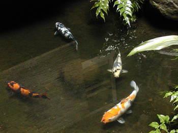 私の家族池の鯉2.JPG